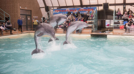aciculum: Rostov-on-Don, Russia- February 2, 2015: Dolphins: Mom and 2 sons in a jump in the Rostov dolphinarium Editorial