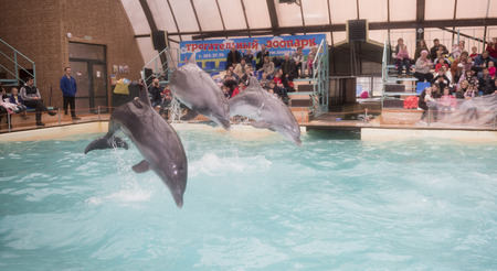 Rostov-on-Don, Russia- February 2, 2015: Dolphins: Mom and 2 sons in a jump in the Rostov dolphinarium Editorial