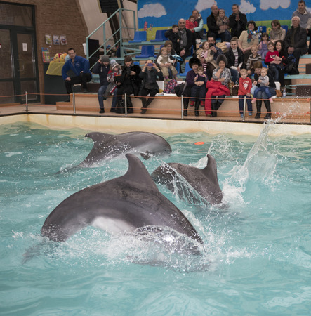 dolphinarium: Rostov-on-Don, Russia- February 1, 2015: Dolphins: Mom and 2 sons in a jump in the Rostov dolphinarium. Visitors with children admired what he saw