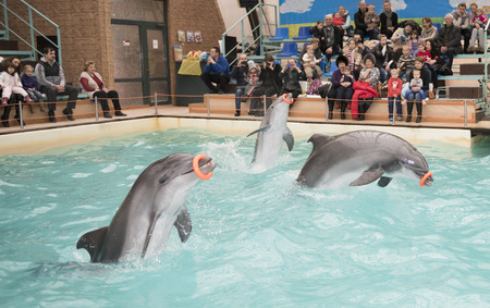 admired: Rostov-on-Don, Russia- February 1, 2015: Dolphins -Mom and two sons perform exercises with rubber rings in the Rostov dolphinarium. Visitors with children admired what he saw Editorial