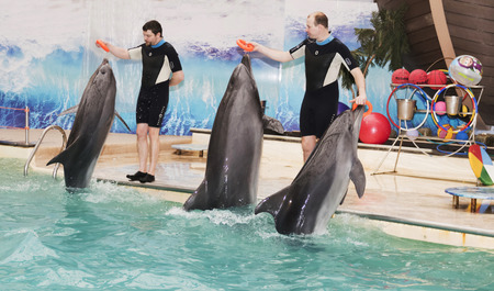 dolphinarium: Rostov-on-Don, Russia- February 1, 2015: Dolphins - mother and two sons brought trainers rubber rings in the dolphinarium
