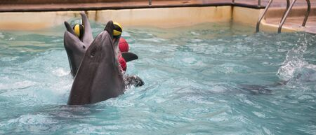 dolphinarium: Rostov-on-Don, Russia- February 1, 2015: Dolphins swim with two rubber balls for trainers in the Rostov dolphinarium