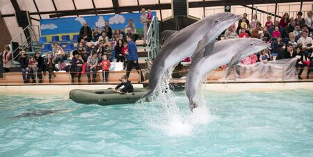 admired: Rostov-on-Don, Russia- February 1, 2015: Dolphin drags the boy in the boat, the audience admired what he saw in the Rostov dolphinarium