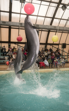dolphinarium: Rostov-on-Don, Russia- February 1, 2015: Dolphins kick hanging balls, the audience admired what he saw in the Rostov dolphinarium Editorial