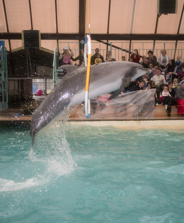 dolphinarium: Rostov-on-Don, Russia- February 1, 2015: Dolphin jumping through hoops at the Rostov dolphinarium. Visitors with children admired what he saw