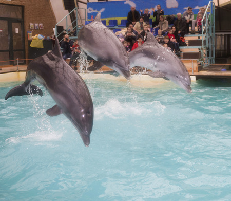 admired: Rostov-on-Don, Russia- February 1, 2015: Dolphins: Mom and 2 sons in a jump in the Rostov dolphinarium. Visitors with children admired what he saw