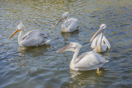 pelicans: Group of pelicans waiting for feeding Stock Photo