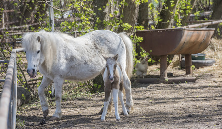 hatchling: Hatchling pony with his mother on the farm Stock Photo