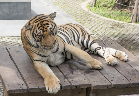 Tiger rests after a busy day Stock Photo