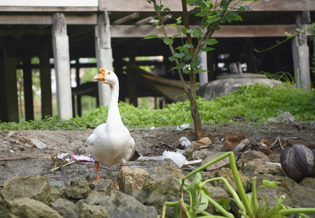 Damnoen Saduak Floating Market.Goose on the bank of the canal Stock Photo