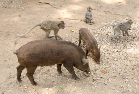 Feeding monkeys and pigs at the temple Wat Trai Rattanaram Stock Photo