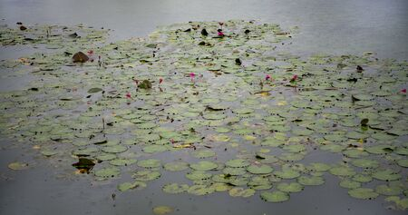 Angkor Wat is the largest temple in the world (Cambodia, 2019). It is raining. Lotuses Stock fotó - 130337518