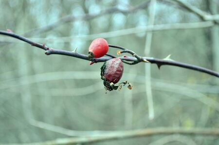 Ripen rosehips on the branch in autumn