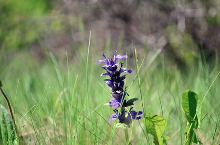blueweed flower blooming on the meadow