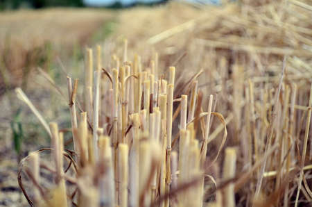 wheat stubble after harvesting in July Reklamní fotografie
