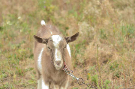 Photo of gray and white goat in the meadow
