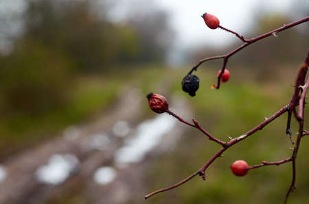 Photo of dried rosehips on the branch in December