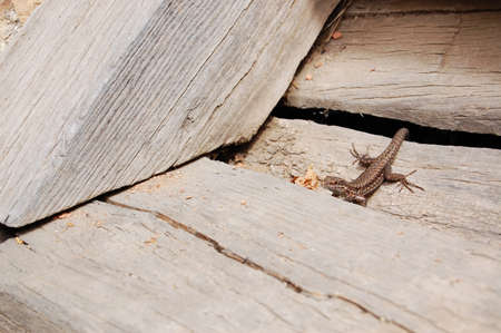 blotched: Lizard  Reptile Animal on Wooden Stairs Stock Photo