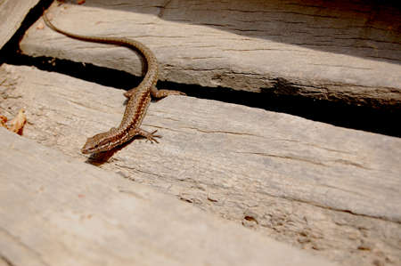 Lizard  Reptile Animal on Wooden Stairs Stock Photo