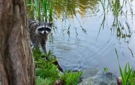 Racoon in de borstel op het meer