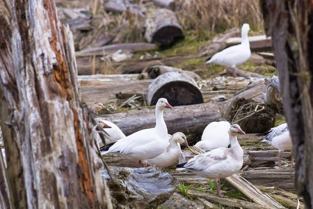webbed: Photo of white goose between old try logs