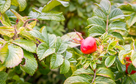 Photo of dogrose bush with red fruits Stock Photo