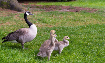 canada goose: Canada Goose - Branta canadensis with family between grass