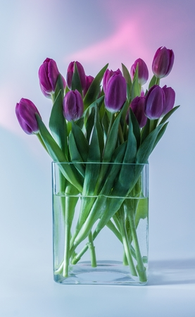 Purple tulips in a glass vase with a pink halo in the background