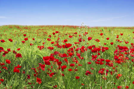 Spring landscape - red poppies photo