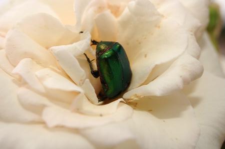 bug in rose Stock Photo