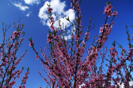 Japanese cherry Stock Photo