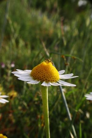 german chamomile: flower