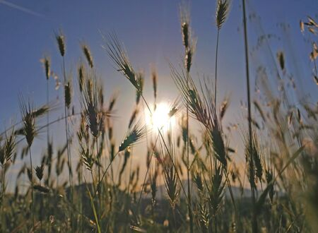 sunset grass in the meadow