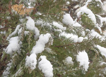 strong snowfall at pine tree