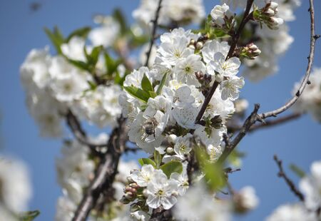 beautify spring flowers on tree