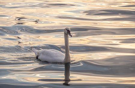 Beautiful View Of A Graceful Swan In Lake