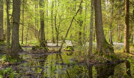 alder: Springtime alder bog forest with standing water