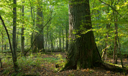 Group of giant oaks in natural forest in autmnal morning photo