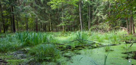 duckweed: Natural alder-carr stand of Bialowieza Forest with standing water and Common Duckweed on surface among Stock Photo