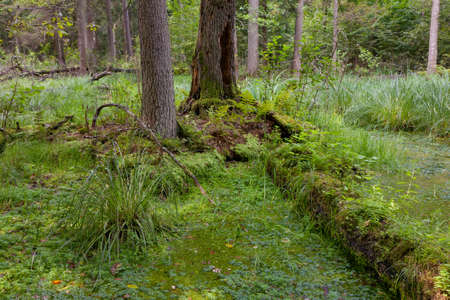 Natural alder-carr stand of Bialowieza Forest with standing water and Common Duckweed on surface among photo