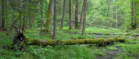 windstorm: Summer deciduous stand of Bialowieza Forest with windstorm hornbeam tree broken lying among herbs and grasses Stock Photo