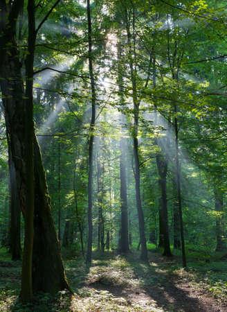 foresta: Sunbeam immettendo ricca foresta decidua di mattina nebbiosa con albero di betulla vecchio in primo piano