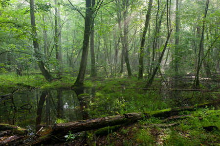 Summertime midday in wet deciduous stand of Bialowieza Forest with standing water in foreground photo