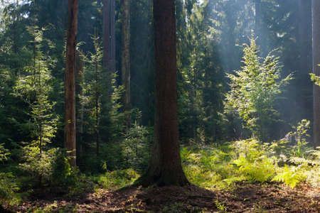 Old coniferous stand of Bialowieza Forest in summertime morning with pine and spruce trees
