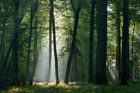 hornbeam: Sunbeam entering rich deciduous forest in misty morning with old hornbeam trees in foreground Stock Photo