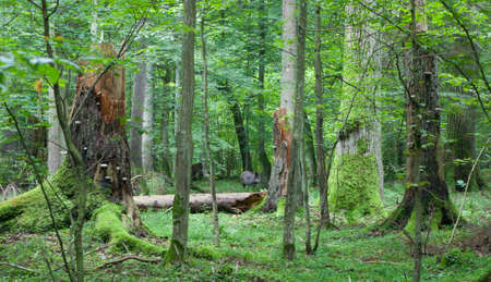 Summer view of mixed stand of Bialowieza Forest with broken trees and wild boar among them in middle