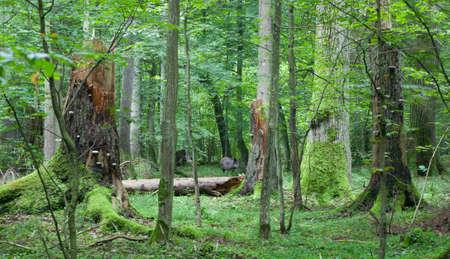 sanglier: Vue estivale du peuplement mixte de la for�t de Bialowieza avec arbres bris�s et le sanglier d'entre eux au milieu