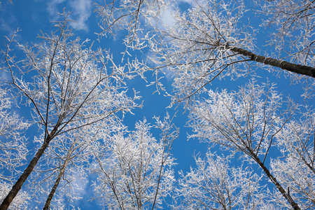 alder tree: Alder tree crowns snow wrapped against blue sky with some light clouds Stock Photo