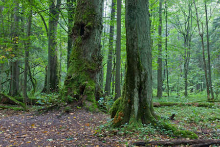 Old natural stand with old trees in early fall,Bialowieza Forest,Europe photo