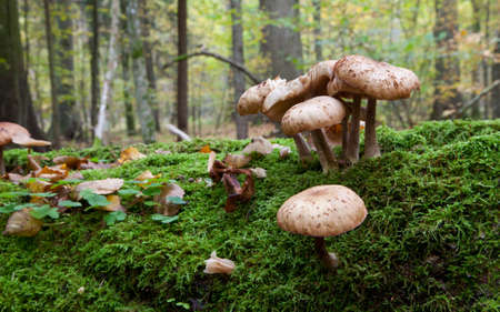 Bunch of Honey Fungus  grows on moss wrapped broken tree closeup Stock Photo - 17090488